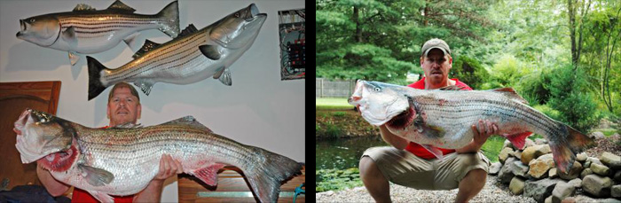 Joe Pitruzzello and the team at Northeast Taxidermy Studios have been selected to mount the new World Record Striped Bass