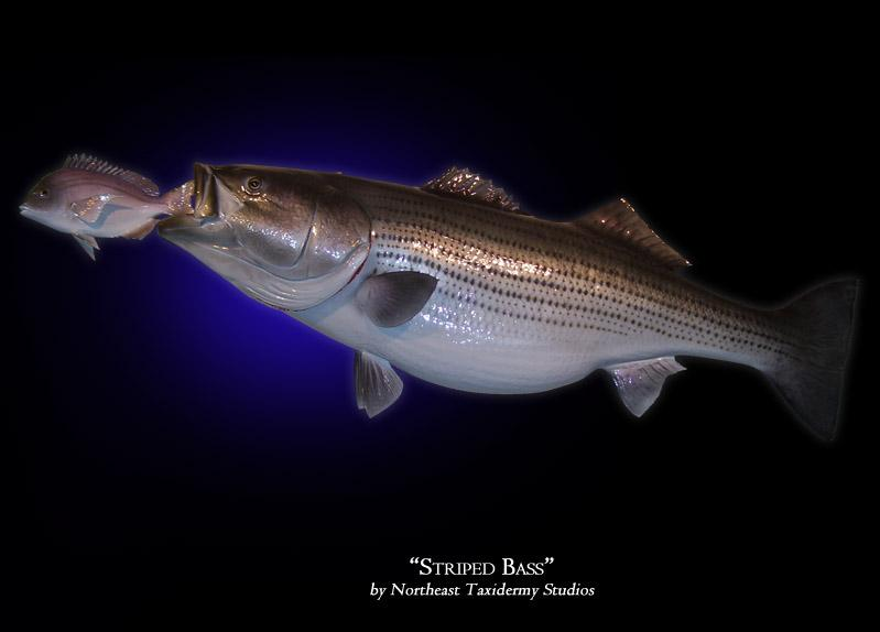 Striped bass with bait mounts fish mounts by northeast for Striper fish bait