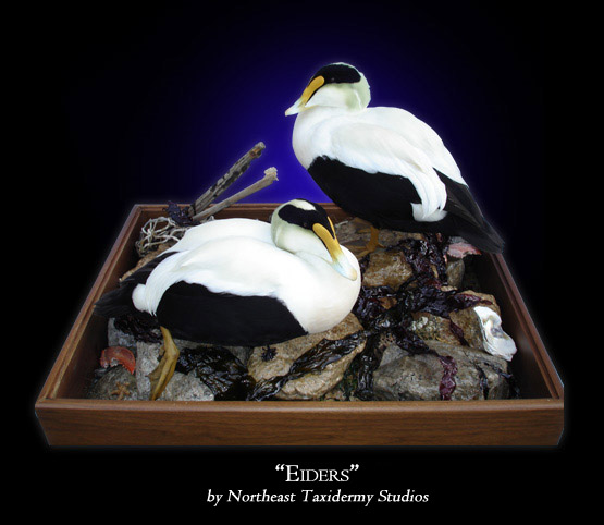 Eideres Taxidermy at Northeast Taxidermy Studios